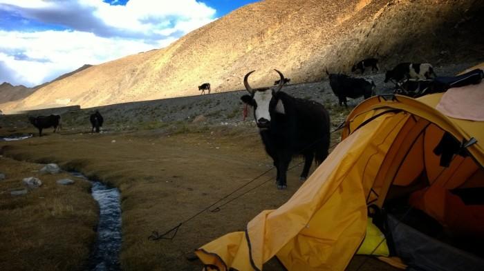 Vi fikk besøk av lokalbefolkningen - Yak-okser gjennom campen