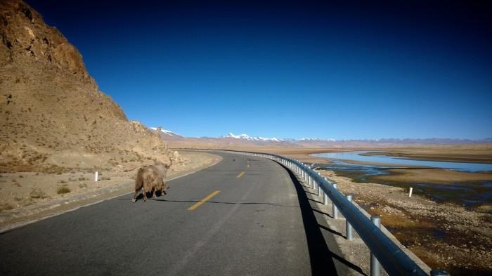Fant en yak på tidlig morgentur