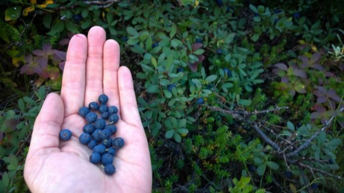 ..og blåbær var mye av grunnen