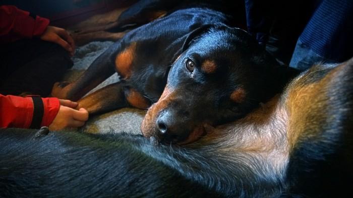 Cirka som egentlgi ikke er så gla i å ha andre hunder for nær..